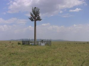 "This mobile phone antenna ""tree"" in Masai Mara national park supports a number of round weaver-bird nests in its branches."
