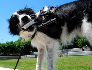 From FIDO (Facilitating Interactions for Dogs with Occupations), current Georgia Tech work on wearables for service dogs. The vest has GPS and can call 911 when the dog tugs in a particular way.